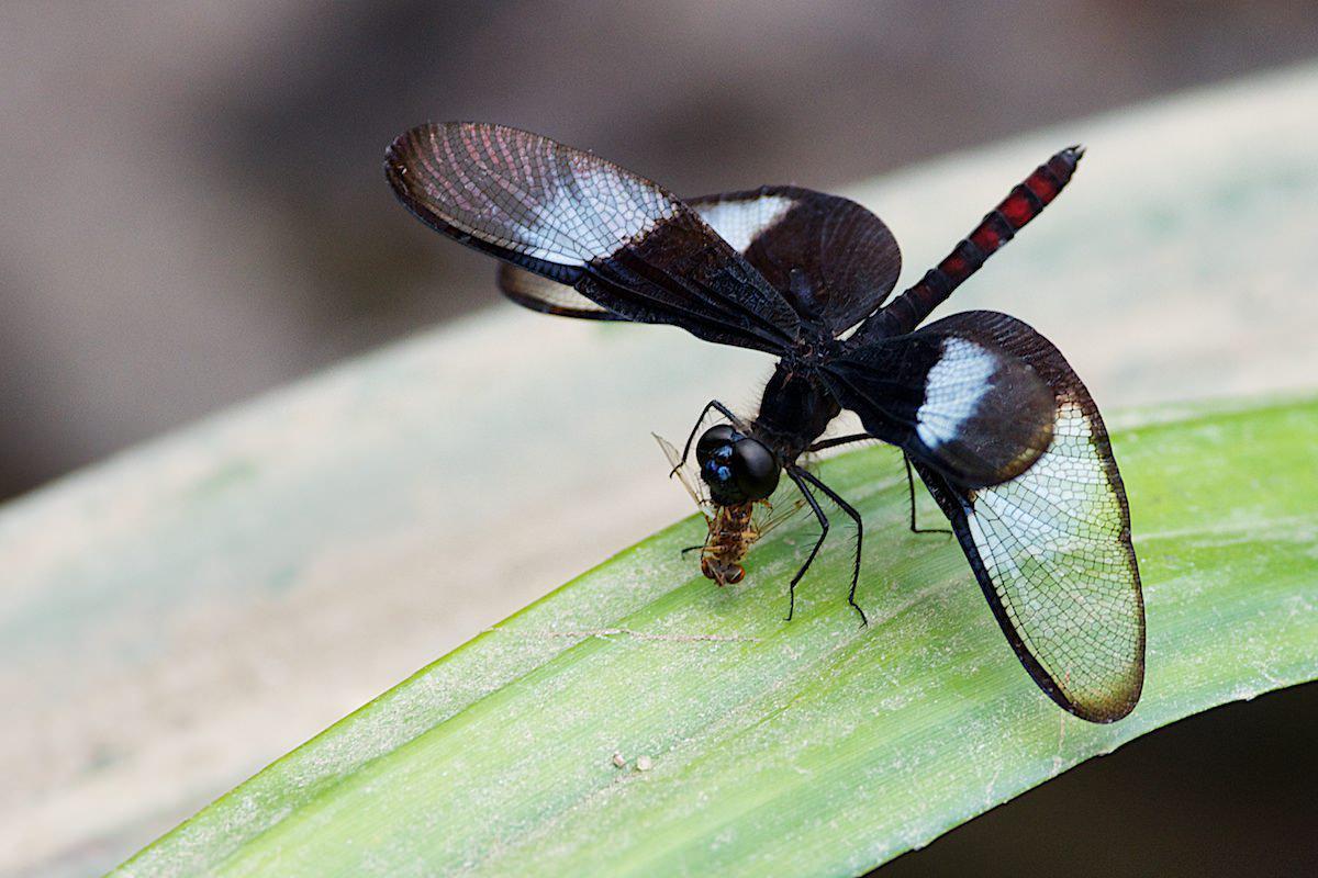 Diastatops dimidiata un papillon qui mange les mouches for Insecte qui mange le bois