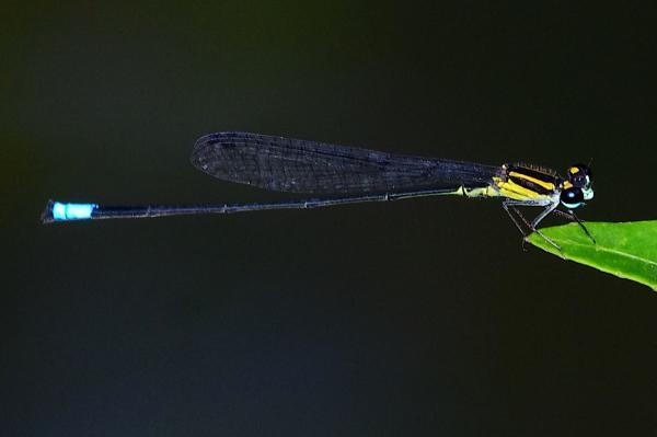 Acanthagrion ascendens mâle