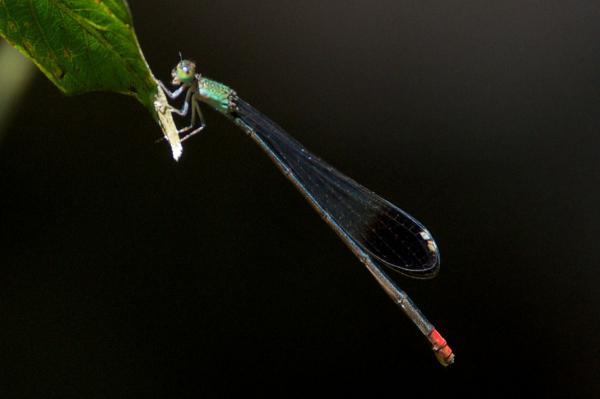 Acanthagrion egleri femelle