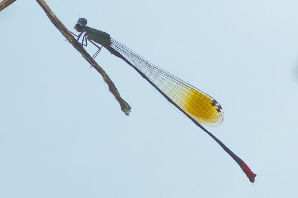 Acanthagrion egleri mâle