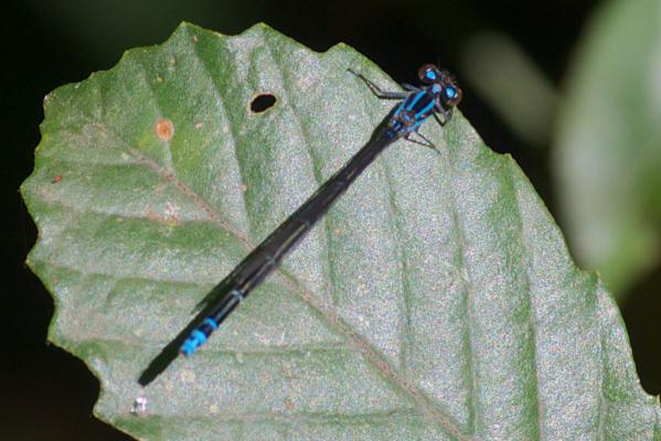 Acanthagrion indefensum femelle