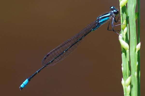Acanthagrion indefensum mâle