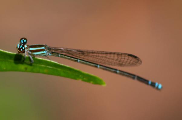 Acanthagrion rubrifrons femelle