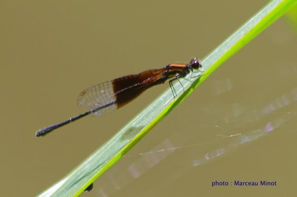 Acanthallagma luteum mâle