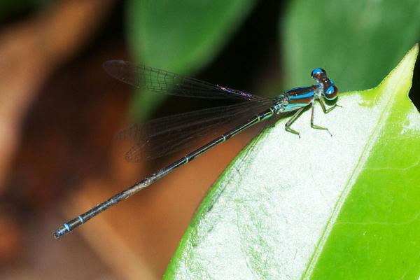 Aeolagrion dorsale femelle