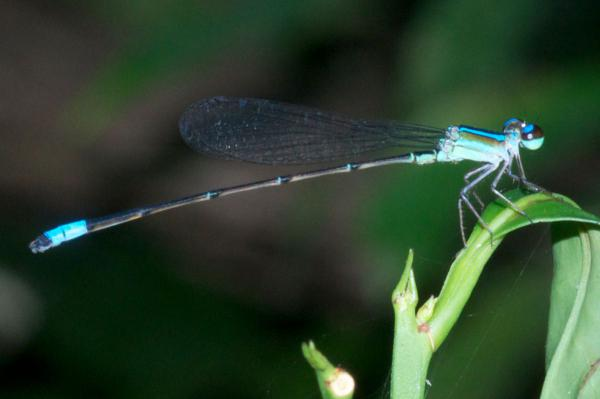 Aeolagrion dorsale mâle