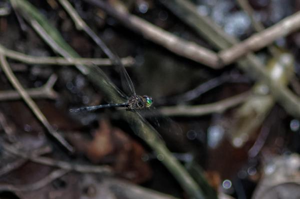 Aeschnosoma forcipula mâle