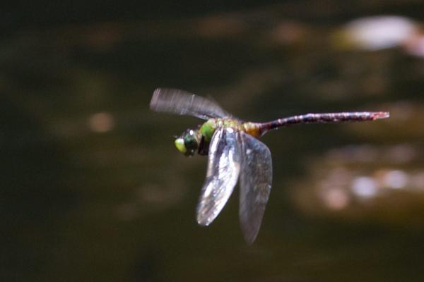 Anax concolor mâle