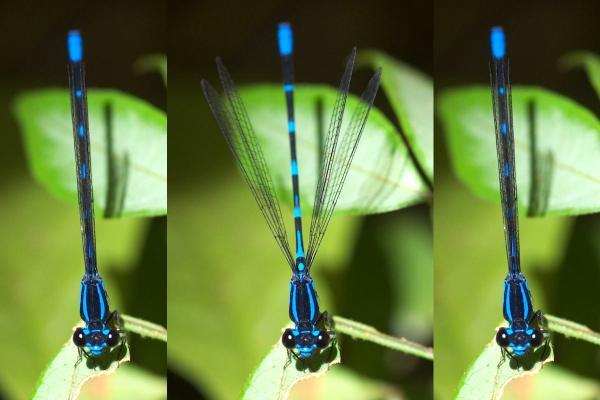 Argia oculata battement d'ailes
