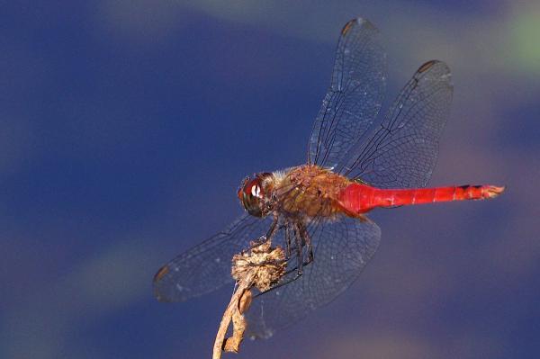 Brachymesia furcata mâle