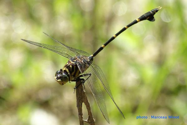 Cacoides latro mâle