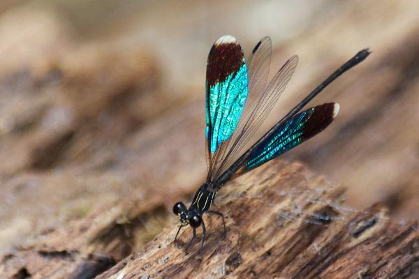 Chalcopteryx seabrai coloration des ailes