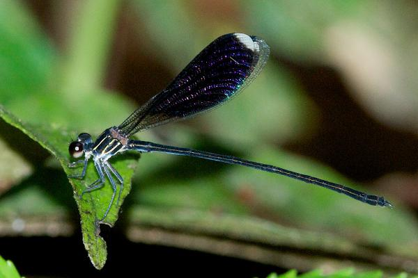 Chalcopteryx seabrai mâle