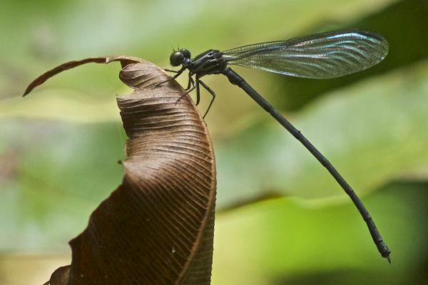 Chalcopteryx seabrai mâle ténétal