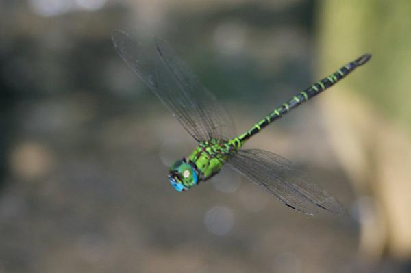 Coryphaeshna adnexa mâle