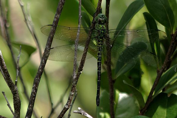 Coryphaeshna viriditas femelle posée