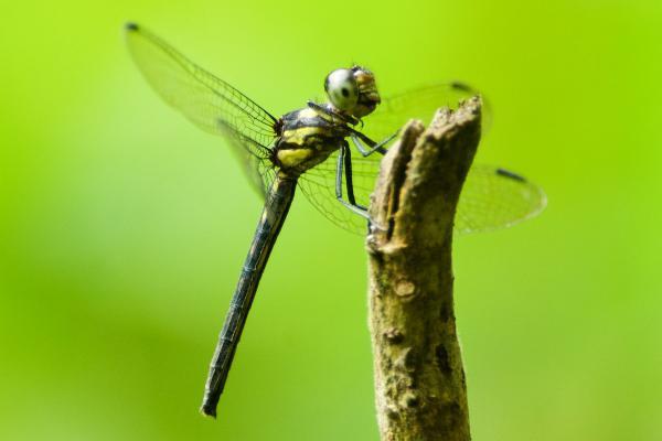 Dasythemis esmeralda femelle