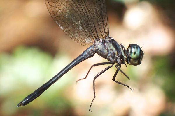 Dasythemis esmeralda mâle