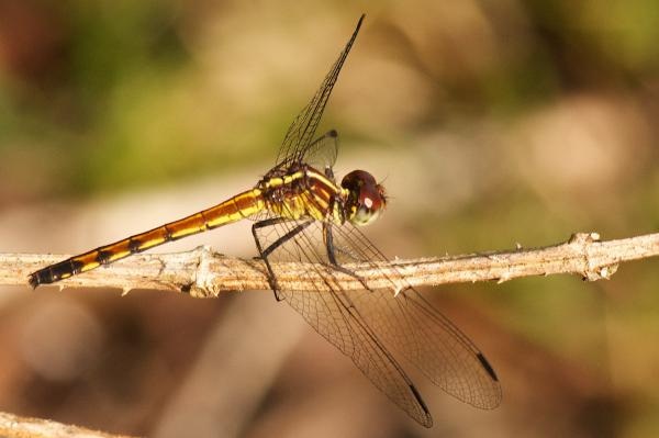 Dasythemis essequiba femelle