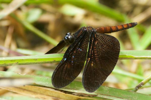 Diastatops obscura femelle