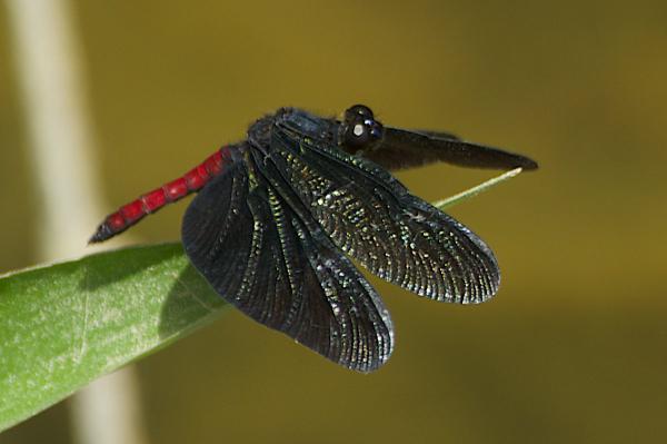 Diastatops obscura mâle