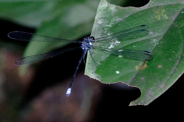 Dimeragrion percubitale mâle mature