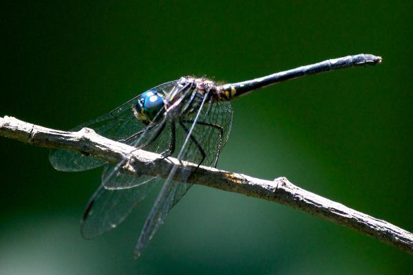 Dythemis nigra Dythemis nigra