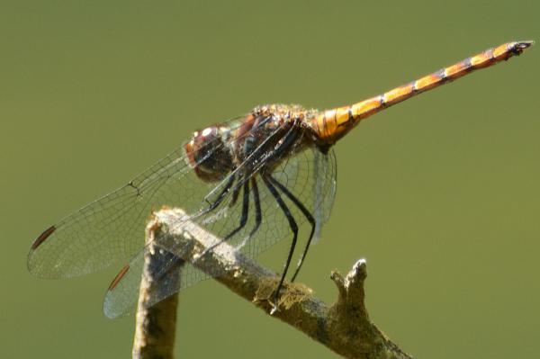 Elasmothemis cannacrioides mâle