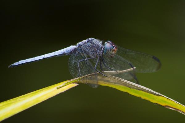 Elasmothemis williamsoni mâle