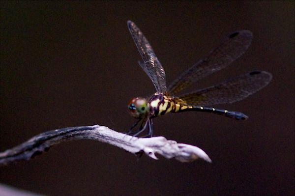 Elga leptostyla femelle