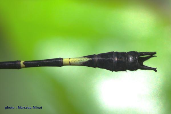 Epigomphus hylaeus appendices anaux du mâle