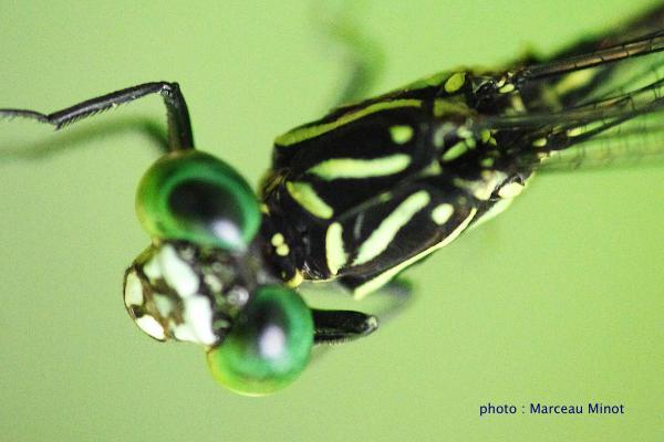 Epigomphus hylaeus avant du thorax.