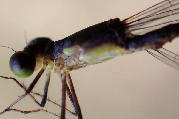 Epipleoneura fuscaenea détail du thorax du mâle