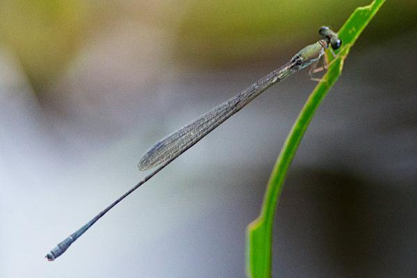 Epipleoneura spatulata mâle