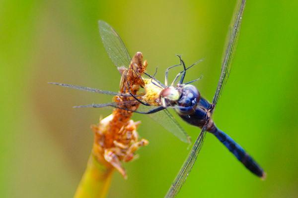 Erythemis credula mâle dévorant une proie