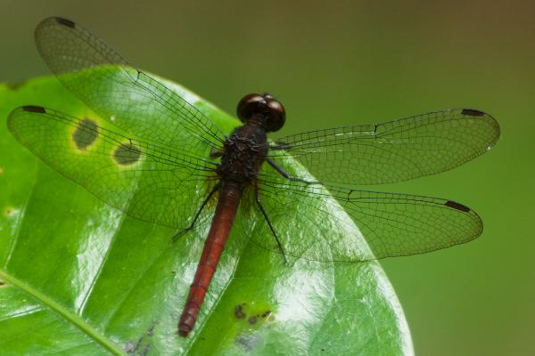 Erythrodiplax amazonica femelle