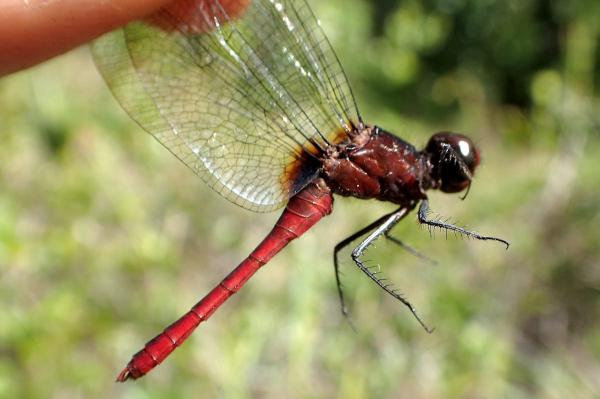 Erythrodiplax amazonica mâle