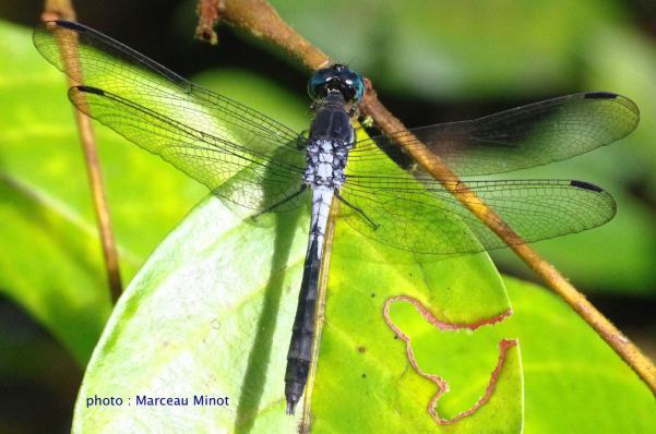 Erythrodiplax angustipennis mâle