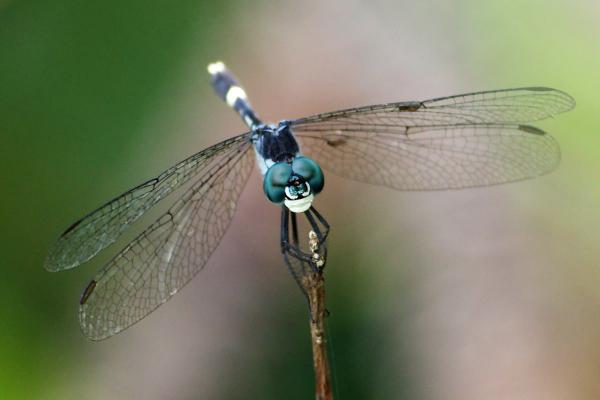 Erythrodiplax longitudinalis mâle