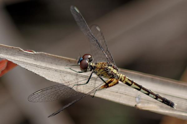 Erythrodiplax maculosa femelle