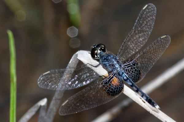 Erythrodiplax maculosa mâle