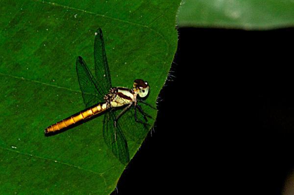 Fylgia amazonica Fylgia amazonica