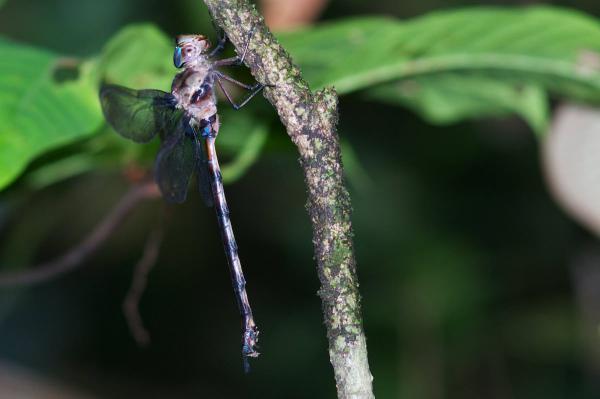 Gynacantha membranalis femelle