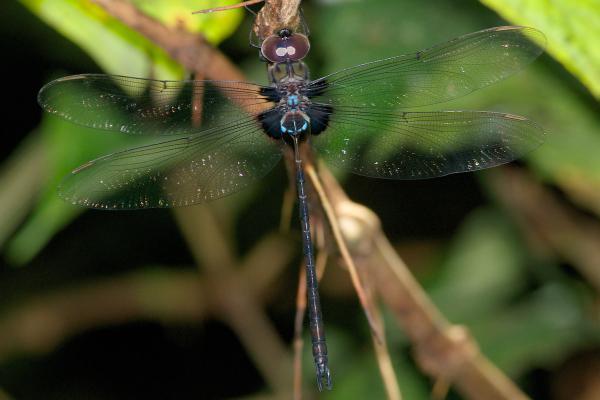 Gynacantha membranalis mâle