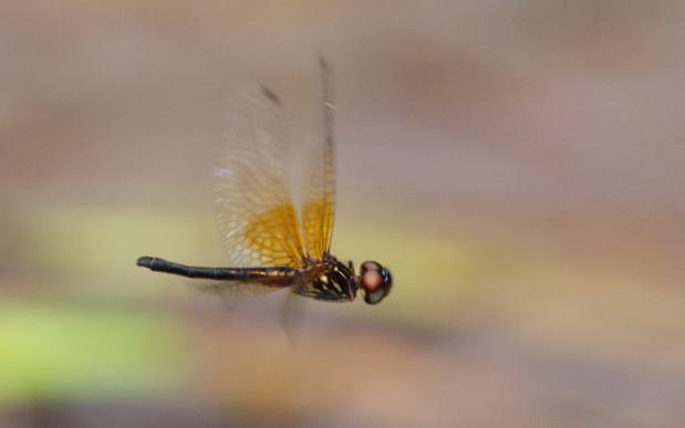 Gynothemis pumila femelle