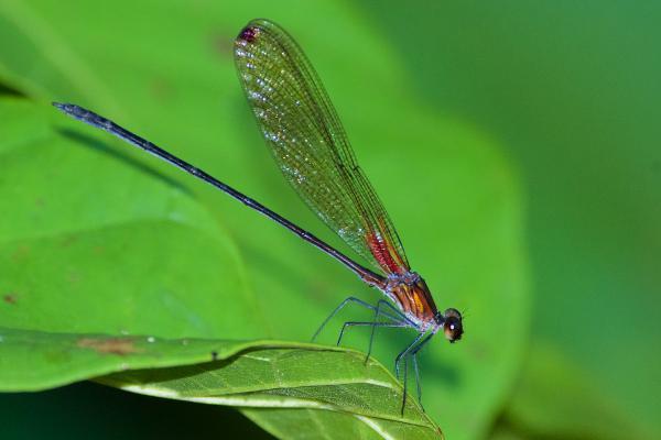 Hetaerina laesa mâle