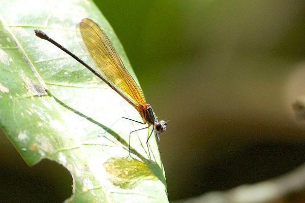 Hetaerina sanguinea femelle