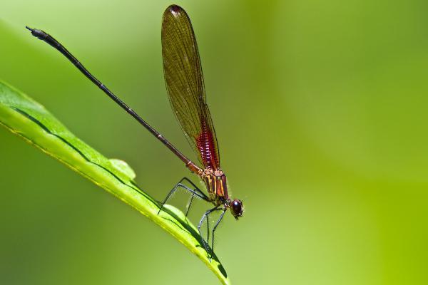 Hetaerina sanguinea