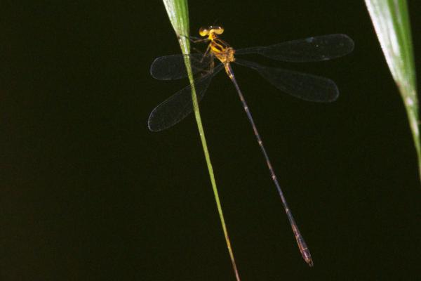 Heteragrion silvarum mâle