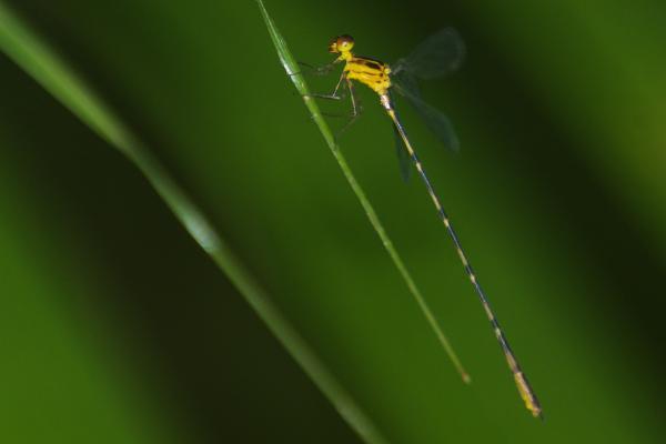 Heteragrion silvarum mâle